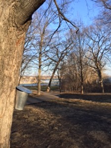 Wayzata Maple tree tapping