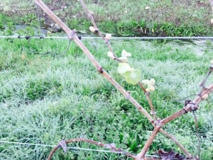 Kitchak bud break 2015